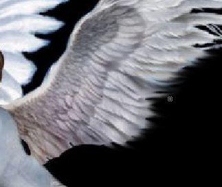 Создаем фотомонтаж крыльев в Фотошопе